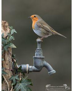 Robin on the garden tap - Animals Small Birds, Colorful Birds, Little Birds, Pet Birds, Wildlife Photography, Animal Photography, Beautiful Birds, Animals Beautiful, Merle