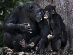 These chimps we're taken from Liberia in the 1970s by New York Blood Center to be used over & over in experiments until 2005. Then NYBC dumped them on an island off Liberia that has NO FOOD OR CLEAN WATER. These chimps would've died if the HSUS hadn't stepped in to care for them. Food & water must be delivered to them daily.  The NYBC owes them lifetime care but still refuses to do so despite having over $500 MILLION. Disgraceful!