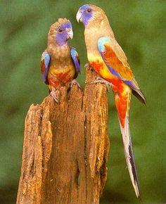 The Bluebonnet Parrot | Blue bonnet Parrots