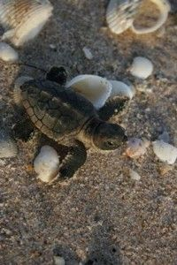 We have a hatch! The first loggerhead sea turtles of the season have hatched at #Kiawah! Don't miss this!