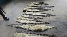 Honduras: Decomisan 30 pieles de cocodrilo en Gracias a Dios  El decomiso se hizo en la laguna de Caratasca, en el Caribe del segundo departamento más grande del país. Las autoridades buscan a los responsables de cometer este hecho.