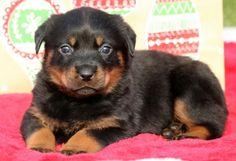 Rottweiler puppy for sale in MOUNT JOY, PA. ADN-55103 on PuppyFinder.com Gender: Female. Age: 5 Weeks Old