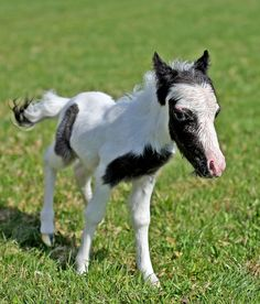 "The world smallest horse ""Einstein"" running in a grass field ~ Pets and Animals...... (Click on picture to read more)"