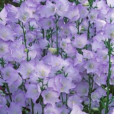 "Bellflower Takion Blue, Campanula persicifolia Compact, upright perennial. 16-20""  Sun/Pt sun Deer resistant"