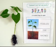 Project: all in kindergarten PS - Mary Martinez Flowers For You, Types Of Flowers, French Classroom, Petite Section, Orchid Care, Garden Soil, Plantation, Teaching Tools, Science And Nature