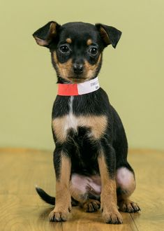 Kay is an adoptable Dog - Chihuahua Mix searching for a forever family near West Allis, WI. Use Petfinder to find adoptable pets in your area.