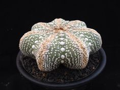 Astrophytum asterias cv. Miracle Kabuto.