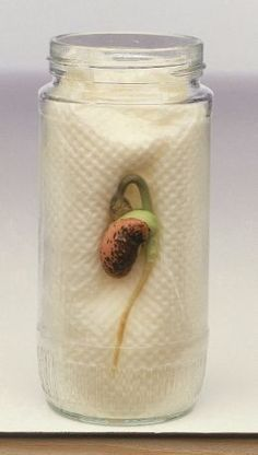 For a plant science activity plant a bean seed in a glass jar. Students can measure the root growth and record in their Interactive Science Journals. Click this picture to see other plant science activities for your classroom. Kid Science, Preschool Science, Science Activities, Science Projects, Projects For Kids, Activities For Kids, Crafts For Kids, Science Week, Plant Science