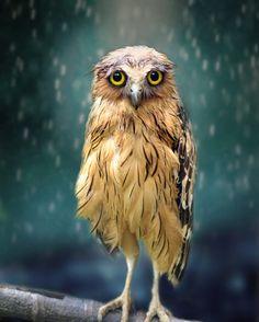 Bird of prey / Owl | Photography by Sham Jolimie  #naturegeography by nature.geography