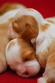 Cavalier Puppies Cuddling by James Polk. Beautiful