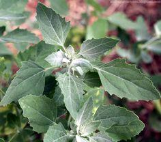 Le chénopode blanc (Chenopodium album),