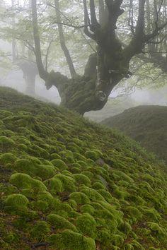 Birch in the Cordillera Cantabrica (Cantabirian Range), fog, Cantabria, Spain.