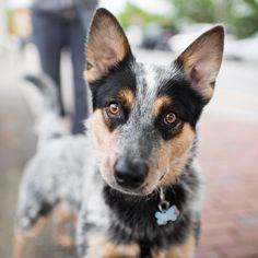 Kashi, Australian Cattle Dog (1 y/o), Luscombe Ave, Woods Hole, MA