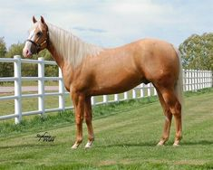 American Quarter Horse, Quarter Horses, National Finals Rodeo, Golden Horse, Barrel Horse, Horse World, Barrel Racing, Palomino, Beautiful Horses