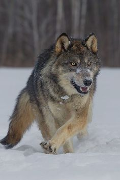 ShapeShifter Seduction: Protector Wolves of Wolf Peak Territory ~Shapeshif...