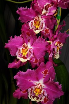 Orchid: Odontioda Eric Jaeger 'Sheila' x Coit Tower 'Gina' - Flickr - Photo Sharing!