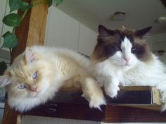 Cream point Colorpoint left & Sealpoint Bicolor right - male Ragdoll Cats