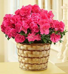 Azalea Plant #Houston #Flowers #Delivery
