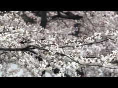 See the cherry blossoms up close in Washington DC with this video from the US Park Service. Cherry Blossom Theme, Cherry Blossoms, Us Park, Park Service, Washington Dc, March, Dragon, Teaching, Spring
