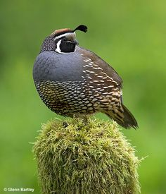 California quail (male) We have dozens and dozens of these at our place - wish they would leave my lettuce alone...