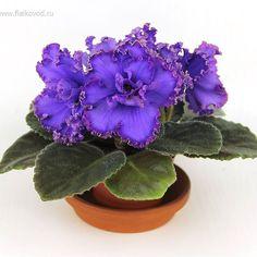 Repost fialkovod  AV-777-144 - very beautiful color of the flowers. Очень красивый цвет цветов.