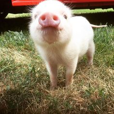 Cutest pig out there! And his name is Piglet. Nothing could be better.