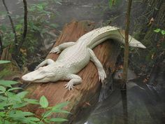 Rare Albino Animals Prove You Don't Need Color to Look Spectacular.  White Alligator.