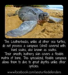 Did you know?  https://www.facebook.com/seaturtledefenders   #seaturtles #leatherbacks #carapace #facts #trivia #awareness