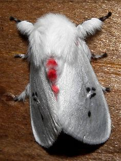 Polilla blanca con puntos negros y rojos / Red- and black-spotted white moth <3
