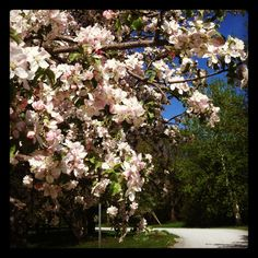 The Apple Tree on Tyler Place Road   Tyler Place Family Resort