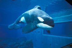 Keiko the orca
