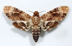 """Made infamous by the movie """"The Silence of the Lambs"""", acherontia lachesis, or """"The Deaths-Head Moth,"""" has long been associated with evil or the paranormal. They have been frequently thought of as harbingers of bad luck, and have been mentioned in writings of Edgar Allan Poe and the artwork of Dali and Wulfing, as well as in Bram Stoker's """"Dracula."""""""