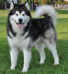 """Visit our internet site for additional information on """"Siberian Husky Dogs"""". It is a superb place for more information. Wolf Husky, Siberian Husky Puppies, Husky Puppy, Malamute Puppies, Purebred Dogs, Alaskan Malamute, Shiba Inu, Akita, Alaska Dog"""