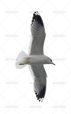 Flying seagull action, air, animal, background, beautiful, beauty, bird, blue, close, closeup, competition, design, elegant, feather, fishing, flight, fly, free, freedom, grey, gull, heaven, high, horizon, isolated, lead, leader, liberty, nature, number, ocean, one, peace, peaceful, power, sea, seagull, sky, soar, soaring, success, sunny, up, white, wild, wildlife, wing, young, Flying seagull