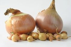 Onions starts mature onion how form to