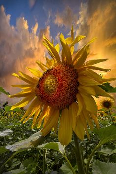 """""""Few flowers welcome the sun better than the sunflower. Happy Flowers, Beautiful Flowers, Sun Flowers, Flowers Garden, Foto Nature, Sunflowers And Daisies, Belle Photo, Beautiful World, Beautiful Gorgeous"""