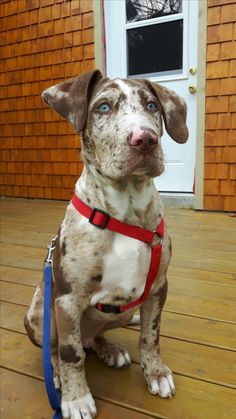 Lodei, Shooting Star Catahoulas