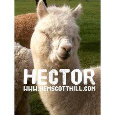 Hector is under that fleece somewhere!  #hemscotthill #alpaca #alpacatrek #alpacatrekking #northumberland #druridgebay #visitnorthumberland  #northumberland #thingstodo