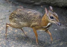 Chevrotain or Mouse Deer. Smallest ungulate species.