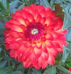 This dahlia was introduced in 1999, and is a bright orange with yellow in the center. An excellent cut...