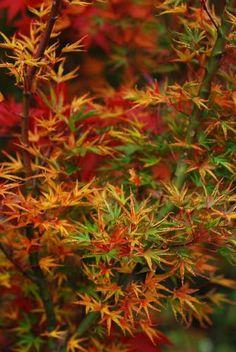 Okushimo Fall Display