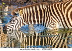 Wildlife Zebra Drinking Reflections Wildlife animal reserve water hole with zebra drinking with body mirror reflections by ChrisVanLennepPhoto, via Shutterstock
