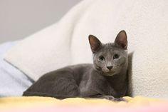Russian Blue Kittens For Sale Russian Blue Kittens For Adoption Buy Russian Blue Kittens Russian Blue Kit With Images Grey Kitten Names Russian Blue Cat Kitten Adoption