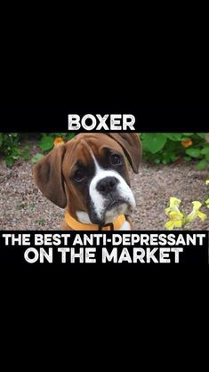 Life isn t the same after you have one as ur bff ! boxers boxerdogshumor all the things we admire about the bright boxer puppies boxerdogsofliverpool boxerdogloves boxerpuppy Boxer Dog Quotes, Boxer Dogs Facts, Boxer Puppies, Dog Facts, Boxer Mom, Funny Boxer, Boxer And Baby, Funny Dogs, Boxer Bulldog