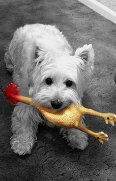 Westie with a rubber chicken #dog #dogs via Flickr