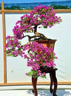 A cascading bonsai tree in FULL bloom. This is truly a beautiful bonsai tree. Ficus Bonsai, Bonsai Plante, Indoor Bonsai, Bonsai Garden, Plants Indoor, Air Plants, Bougainvillea Bonsai, Flowering Bonsai Tree, Plantas Bonsai