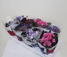 SAINTPAULIA DIAM.12  Florpagano di Antonio Pagano (piante e fiori) www.florpagano.com