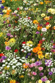 Pictorial Meadows Candy seed mixture for this glorious wildflower meadow flower garden Candy ⋆ Pictorial Meadows Wild Flower Meadow, Meadow Flowers, Field Of Flowers, Lilies Flowers, Candy Flowers, Cut Flowers, Nature Aesthetic, Flower Aesthetic, Meadow Garden