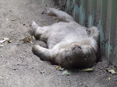 sleeping wombat