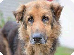 3/1/17 URGENT! Fort Lauderdale, FL - German Shepherd Dog. Meet A1875544, a dog for adoption. Broward County Animal Care & Adoption Pet ID #: 11111034-A1875544 Phone: (954) 359-1313 http://www.adoptapet.com/pet/17648568-fort-lauderdale-florida-german-shepherd-dog